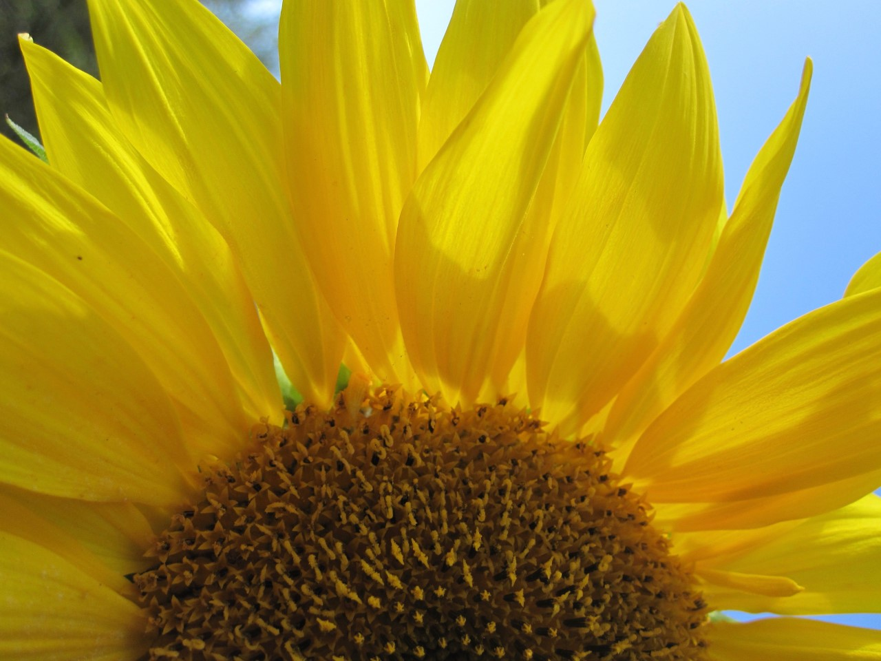 thumbnail_IMG_7492.jpg Summer Sunflower